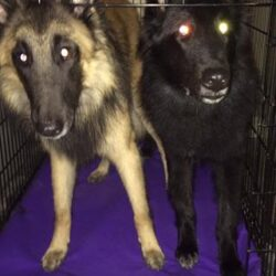 dogs with glowing eyes on primo pads.